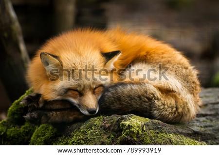 Red Fox Animal