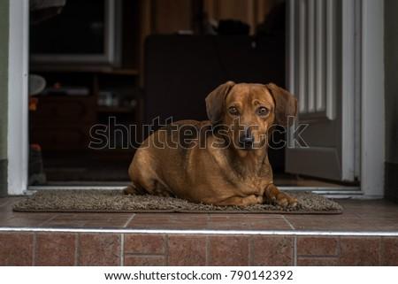 Cute dachshund sitting on the doorstep like a watchdog #790142392