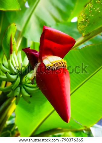 Banana blossom is Thai herb that helps to nourish the mother's milk after birth. And it is a fresh vegetable with Thai food. #790376365