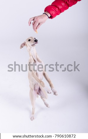 whippet dog puppy #790610872