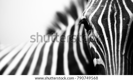 Monochrome, shallow depth of field image of a zebra with head and eye in focus and stripes in soft-focus Royalty-Free Stock Photo #790749568