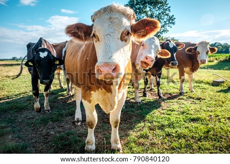 Cows at cattle farm in Hungary Royalty-Free Stock Photo #790840120