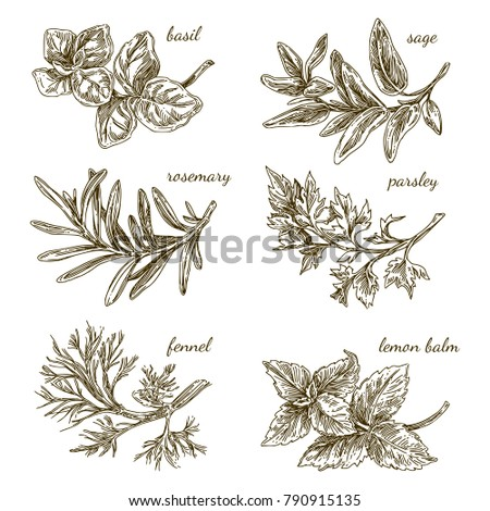 Set of herbs for kitchen. Basil, sage, rosemary, parsley, fennel,  lemon balm. Engraving style. Vector illustration. Royalty-Free Stock Photo #790915135