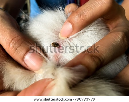 Find flea tick on dog skin hair, Closeup big tick dog eating dog blood with female hand