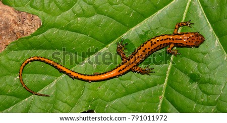 Long-tailed Salamander (Eurycea longicauda) at Tishomingo State Park in Mississippi