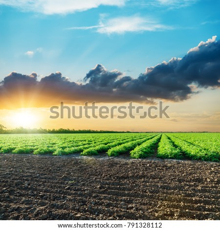 agricultural field with green tomatoes and sunset in clouds #791328112