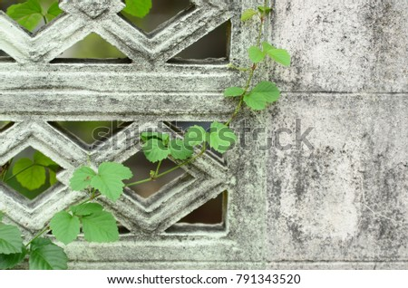Fence around the house Creeper Green climb looks beautiful background image. #791343520