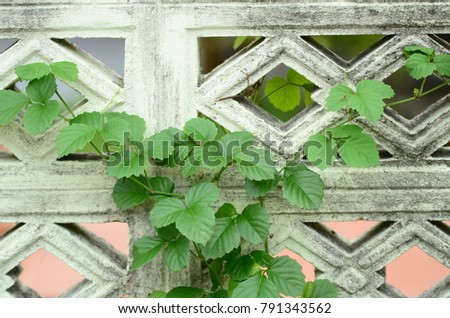 Fence around the house Creeper Green climb looks beautiful background image. #791343562