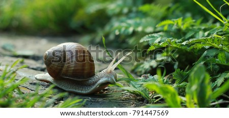 Big snail in shell crawling on road, summer day in garden #791447569