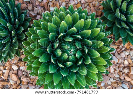 Agave victoriae-reginae (Queen Victoria agave, royal agave) is a small species of succulent flowering perennial plant, noted for its streaks of white on sculptured geometrical leaves #791481799