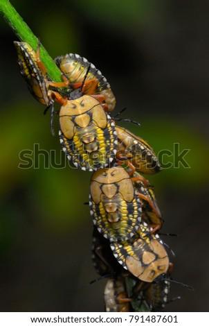 Strange stinkbug larvae cluster #791487601