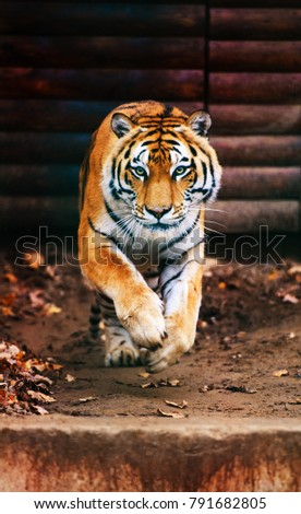 Jumping tiger. Beautiful, dynamic and powerful photo of this majestic animal.