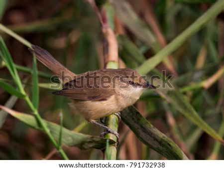 Reed Warbler in Qanater area in Egypt #791732938