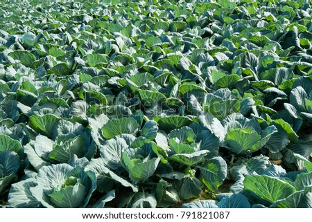 Cabbage, Brassica oleracea, large vegetative bud surrounded by opened leaves, used in cooked vegetable #791821087