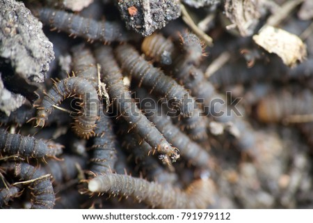 A lot of swarming worms in ground. Grave worms, death worm (And they shall lie down alike in the dust, and the worms shall cover them. Bible). Larvae, caterpillars of insects, saprobiont, necrophage #791979112
