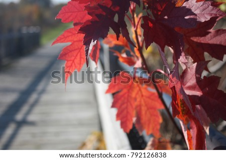 Red autumn leaves in front of a trail or walking path. #792126838