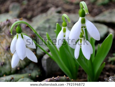 Snowdrop spring flowers. Delicate snow drop flower one of spring symbols telling us winter is leaving & spring come. Fresh green white snowdrop growing in garden. March snowdrop flowers closeup banner #792596872