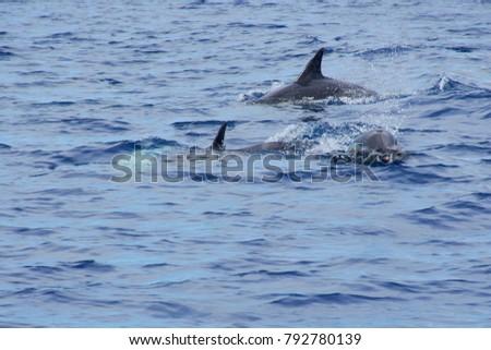Small pod of dolphins on the Azores, Sao Miguel near Ponta Delgada #792780139