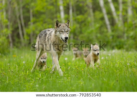 Gray Wolf With Pups  Royalty-Free Stock Photo #792853540