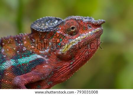 Portrait of Panther Chameleon - Furcifer pardalis, Madagascar #793031008