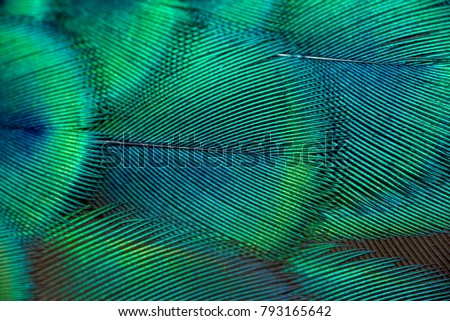 Peacock feathers in closeup Royalty-Free Stock Photo #793165642