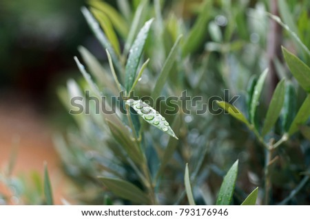 Leaf of olive with water drops #793176946