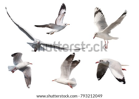 Set of seagulls flying isolated on white background #793212049