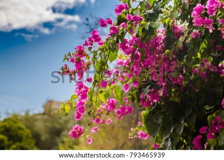 Blooming bougainvillea.Magenta bougainvillea flowers.Bougainvillea flowers as a background. #793465939