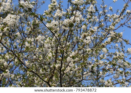 Flowering branch of a cherry tree. #793478872
