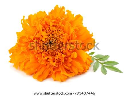 Orange Marigold flower, Tagetes erecta, Mexican marigold, Aztec marigold, African marigold isolated on white background #793487446