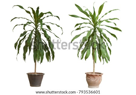 Dracaena fragrans tree middle age in the pot on white background. #793536601