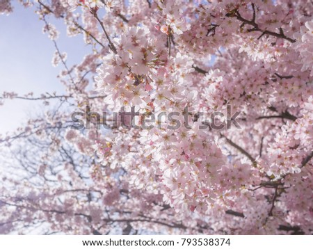 Close up of fresh pink cherry blossoms on branches against blue sky. Background texture of beautiful cherry tree in full bloom. #793538374