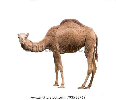 dromedary or arabian camel isolated on white background Royalty-Free Stock Photo #793588969