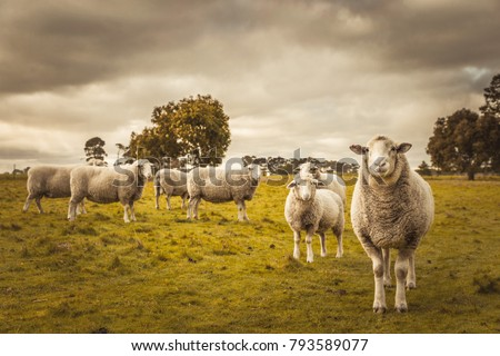 Australian countryside rural autumn landscape. Group of sheep grazing in paddock at farm #793589077