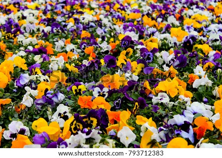 Multicolor pansy flowers or pansies as background or pattern. Field of colorful pansies with white yellow & violet flowers. Mixed spring heartsease flowers on flowerbed in perspective with detail