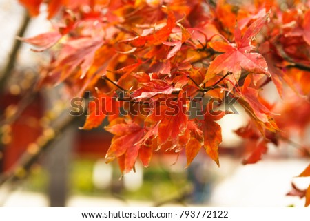 red leaf in autumn   #793772122