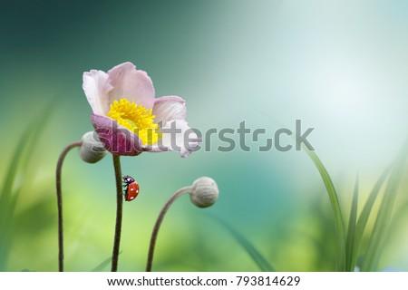Beautiful pink flower anemones fresh spring morning on nature with ladybug on blurred soft blue green background, macro. Spring template, fabulous elegant amazing artistic image #793814629