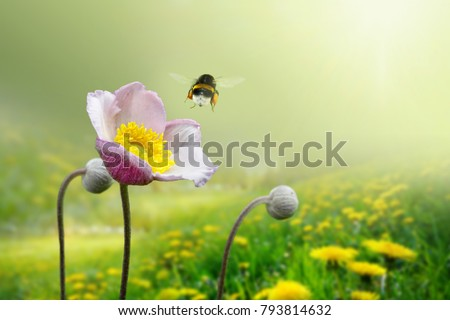 Beautiful pink anemone flower on  spring yellow meadow and flying bumblebee macro on soft blurry light green background. Concept hot summer in sunshine in nature, bright warm soulful artistic image #793814632