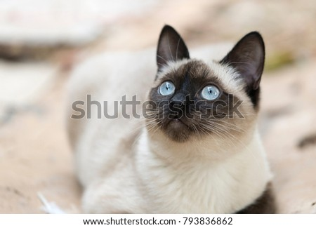 Siamese cat alert to what happens around him. Horizontal shot with natural light #793836862