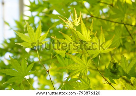 Acer palmatum or palmate maple or japanese maple or smooth japanese-maple green foliage #793876120