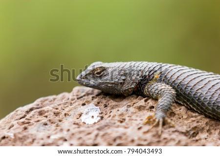 Blue throated Mexican lizard. #794043493