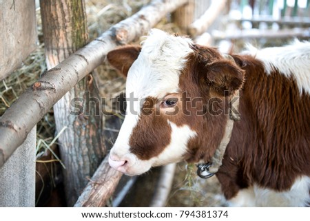 Red calf with collar in the farm #794381374