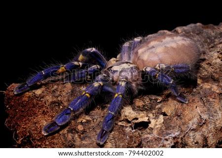 Metallic blue Peacock Tarantula, Gooty Tarantula 'Poecilotheria metallica' #794402002