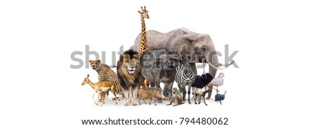 Group of African safari animals together on white header with room for text on both sides #794480062