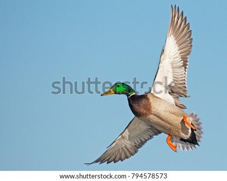 Male Mallard Duck in Flight #794578573
