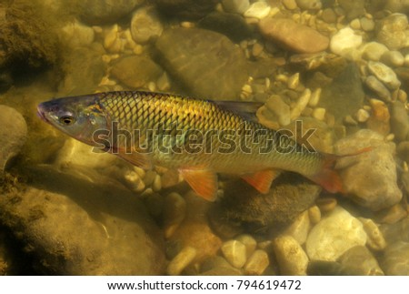 fish in the river water #794619472