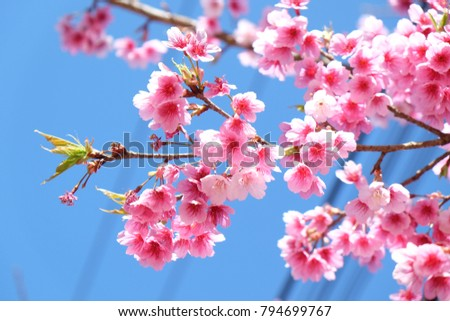 Pink cherry blossoms with the blue sky. #794699767