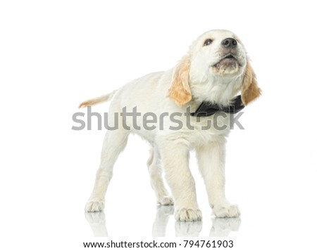 cute puppy in bow tie isolated on white studio shot  retriever singing howling barking #794761903