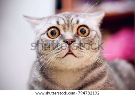 Young crazy surprised cat make big eyes closeup. American shorthair surprised cat or kitten funny face big eyes. Young cat looking surprised and scared. Emotional surprised wide big eye kitten at home Royalty-Free Stock Photo #794782192