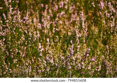 Heather flowers grow in a magical forest. The rays of light beautifully depict marvelous pictures of nature. #794855608